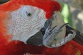 Portrait of Scarlet Macaw grooming - Bali Indonesia