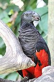 Pesquet's parrot on a branch - Bali Indonesia