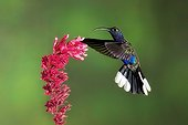 Violet sabrewing gathering nectar of a flower au Costa Rica