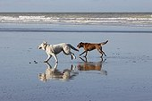Swiss white sheepdog running with another dog on the beach
