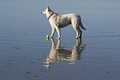 Swiss white sheedog and reflection at low tide - France