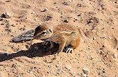South African Ground Squirrel - Kalahari Desert  Kgalagadi