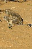 South African Ground Squirrels - Kalahari Desert  Kgalagadi