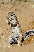 South African Ground Squirrel eating - Kalahari  Kgalagadi