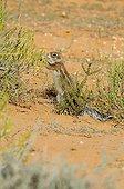 South African Ground Squirrel eating - Kgalagadi Kalahari