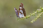 Southern White Admiral on a twig - Massif des Maures France