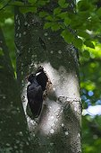 Female Black Woodpecker at nest in forest - Lorraine France