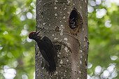 Male Black Woodpecker feeding at nest - Lorraine France