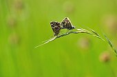 Skippers mating on spikelet in a meadow - France