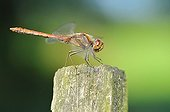 Common Darter flapping wings on wooden stake - France