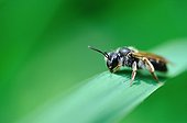 Solitary Bee on a leaf - France