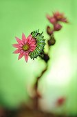 Chinese Moon Moth caterpillar on Sempervivum flower - France