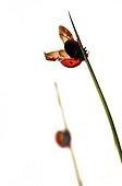 Ladybird 7 points stretching on Sedge on white background