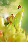 Sevenspotted Lady Beetle on carnivorous plant Heliamphora ; Urn with nectar gland<br>Heliamphora nutans x heterodoxa