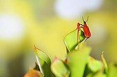 Cardinal Beetle on carnivorous plant Heliamphora ; Urn with nectar gland<br>Heliamphora nutans x heterodoxa