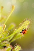 Sevenspotted lady beetle mired by a Long-leaved Sundew