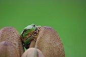 Green tree frog on Mushrooms - Ile d'Oleron France