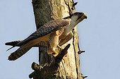 Peregrine Falcon on a dead tree - France