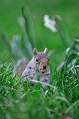 Grey squirrel in grass - Gardens of the Queen London UK
