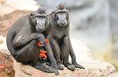 Tonkean Black Macaques eating fruit - Pairi Daiza Belgium