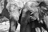 Portrait of African Elephants in the savannah
