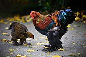 Brahma Rooster and Hen pecking