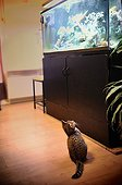 Kitten watching an aquarium