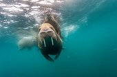 Walrus swimming under the surface - Arctic Ocean