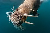 Portrait of Walrus swimming underwater - Arctic Ocean
