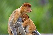 Proboscis Monkey and young - Labuk Bay Sabah Borneo Malaysia