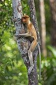 Proboscis Monkey on trunk - Labuk Bay Sabah Borneo Malaysia