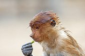 Proboscis Monkey wet - Labuk Bay Sabah Borneo Malaysia