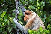 Proboscis Monkey male - Labuk Bay Sabah Borneo Malaysia