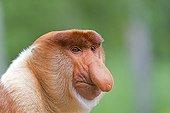 Proboscis Monkey male - Labuk Bay Sabah Borneo Malaysia ; Male head of the harem