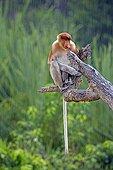 Proboscis Monkey under rain -Labuk Bay Sabah Borneo Malaysia