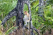 Proboscis Monkey on a branch-Labuk Bay Sabah Borneo Malaysia