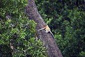 Proboscis Monkey going up - Labuk Bay Sabah Borneo Malaysia