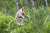 Proboscis Monkey leaping - Labuk Bay Sabah Borneo Malaysia