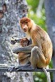 Proboscis Monkey eating - Labuk Bay Sabah Borneo Malaysia