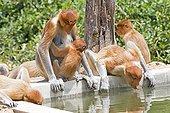 Proboscis Monkey drinking- Labuk Bay Sabah Borneo Malaysia