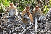 Proboscis Monkey on bank - Labuk Bay Sabah Borneo Malaysia