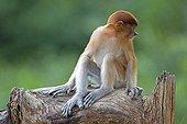 Proboscis Monkey on branch - Labuk Bay Sabah Borneo Malaysia