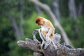 Proboscis Monkey under rain-Labuk Bay Sabah Borneo Malaysia