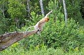 Proboscis Monkey jumping - Labuk Bay Sabah Borneo Malaysia