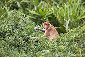 Proboscis Monkey in foliage -Labuk Bay Sabah Borneo Malaysia