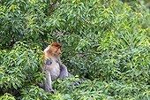 Proboscis Monkey in forest - Labuk Bay Sabah Borneo Malaysia