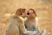 Proboscis Monkeys playing - Labuk Bay Sabah Borneo Malaysia