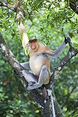 Proboscis Monkey on branch - Labuk Bay Sabah Borneo Malaysia ; Male head of the harem