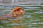 Proboscis Monkey bathing - Labuk Bay Sabah Borneo Malaysia