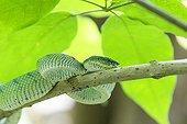 WagLer's pit viper on a branch - Bako Borneo Malaysia